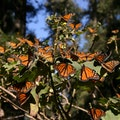 Monarch Butterfly Biosphere Reserve State of Mexico  Mexico