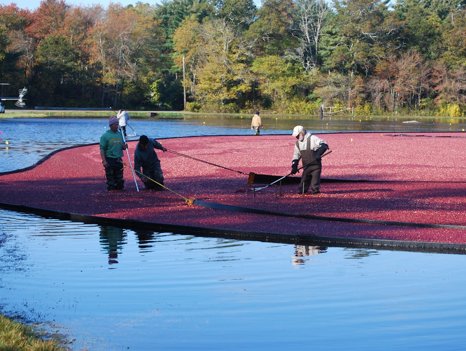 New England Cranberry Harvest  Plympton Massachusetts United States