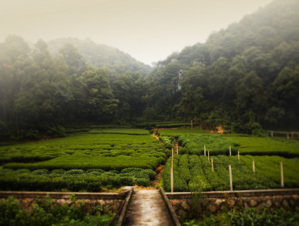 Tea Fields of Hangzhou Hangzhou  China