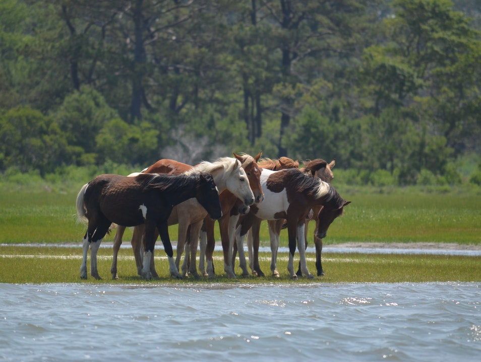 The wild ponies of Chincoteague Ocean City Maryland United States