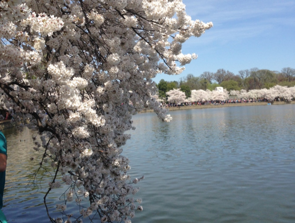 Cherry Blossoms: Worth the Crowds Washington, D.C. District of Columbia United States
