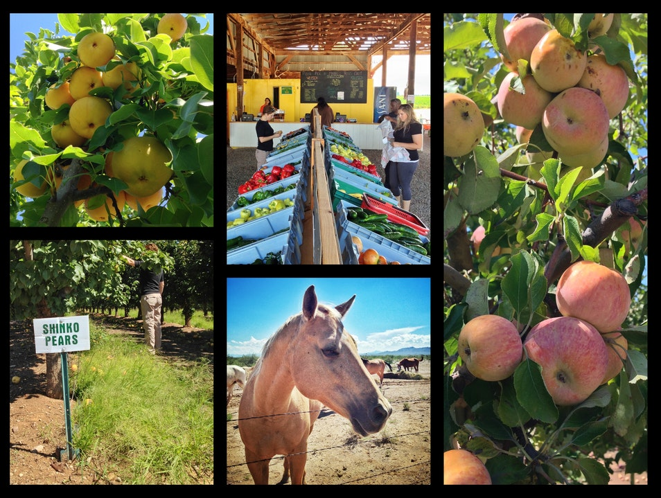 High Desert Orchards—Pick Your Own Just East of Tucson