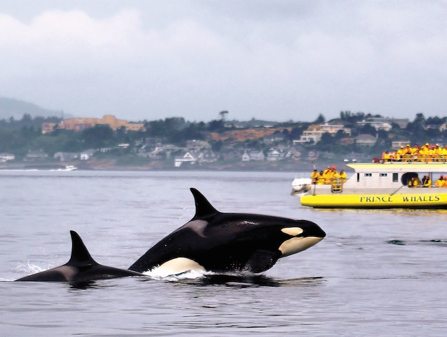 Prince of Whales offers the best whale watching excursions in Victoria and Vancouver!