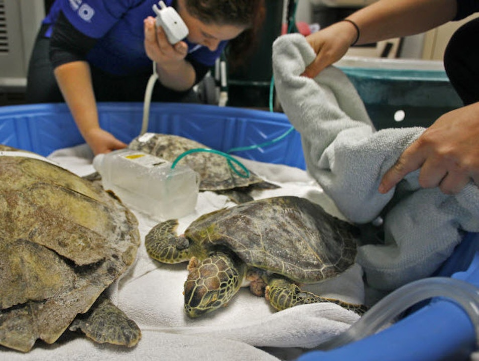 Operation Cold Stun: Inside the fight to save Clearwater's sea turtles