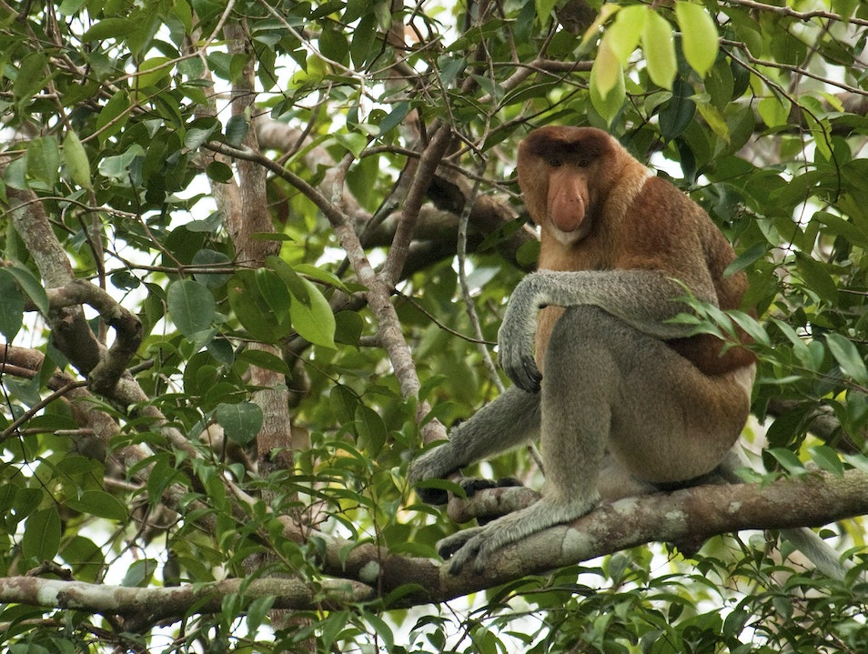 Proboscis Monkey Central Kalimantan  Indonesia