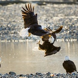Alaska Chilkat Bald Eagle Preserve