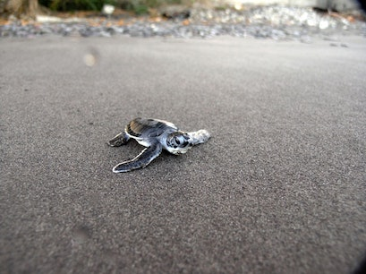 A Close Encounter With Sea Turtles Rosalie  Dominica