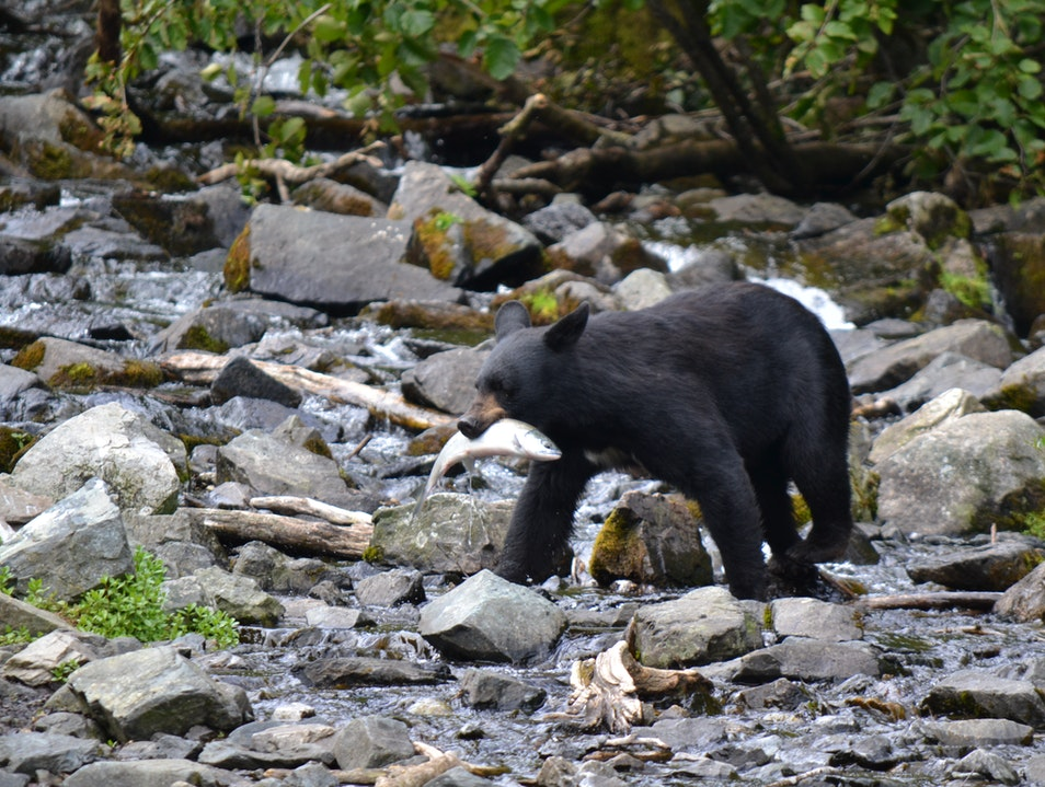 Dining with the bears in Alaska