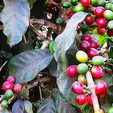 Filadelfia Coffee Plantation