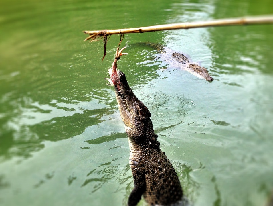 Crocodile Boat Tours and Pole-Feeding at Hartley's Crocodile Adventures  Wangetti  Australia