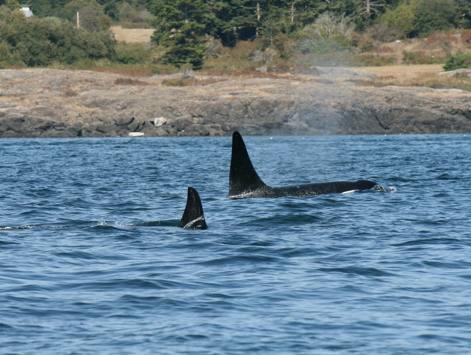 Whale-Watching in Victoria