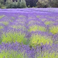 Pelindaba Lavender Farm Friday Harbor Washington United States