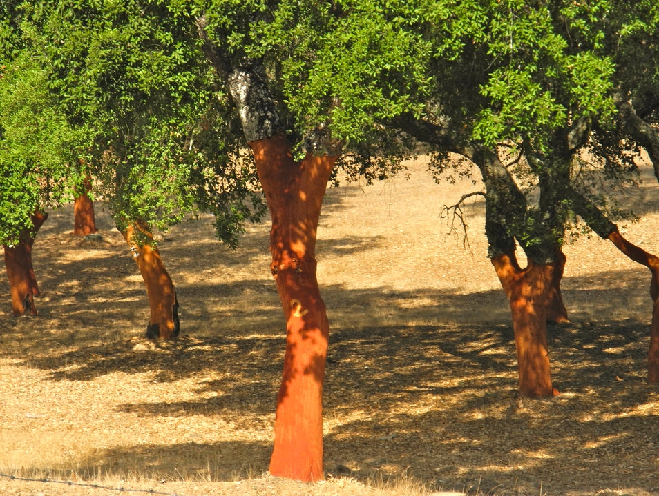 Cork Trees in Portugal Santa Maria  Portugal