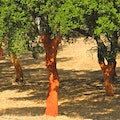 Cork Trees Santa Maria  Portugal