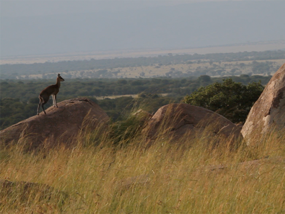 The Serengeti's Mini-Rock Stars