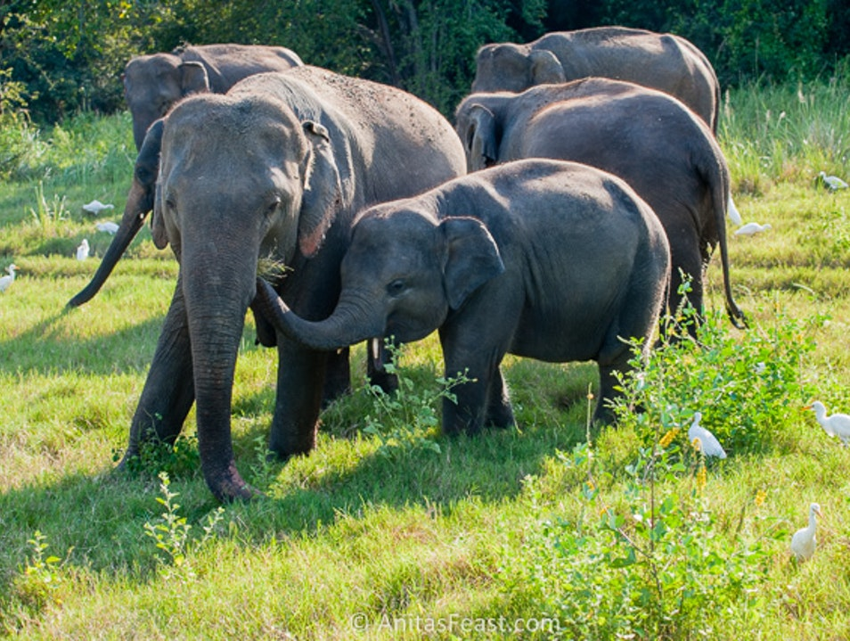 A gathering of elephants Polonnaruwa  Sri Lanka