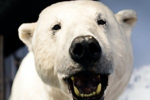 The Royal and Ancient Polar Bear Society