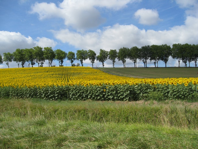 A field of sunflowers in the south of France