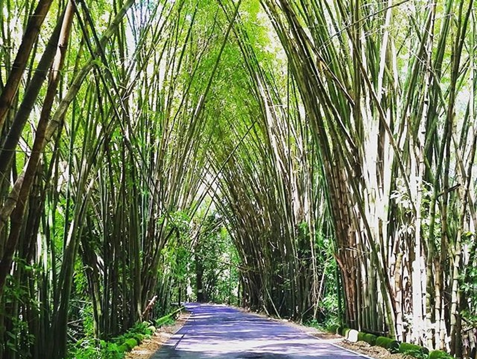 Bamboo Tunnel  Lares  Puerto Rico