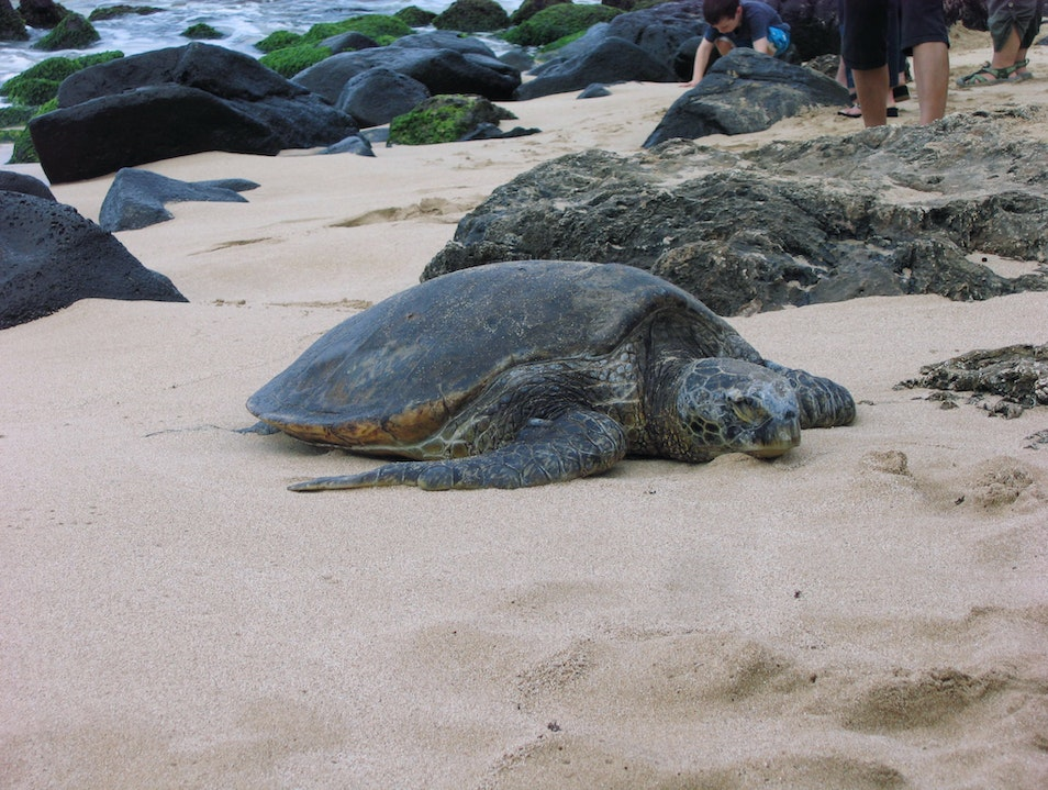See a Sea Turtle Haleiwa Hawaii United States