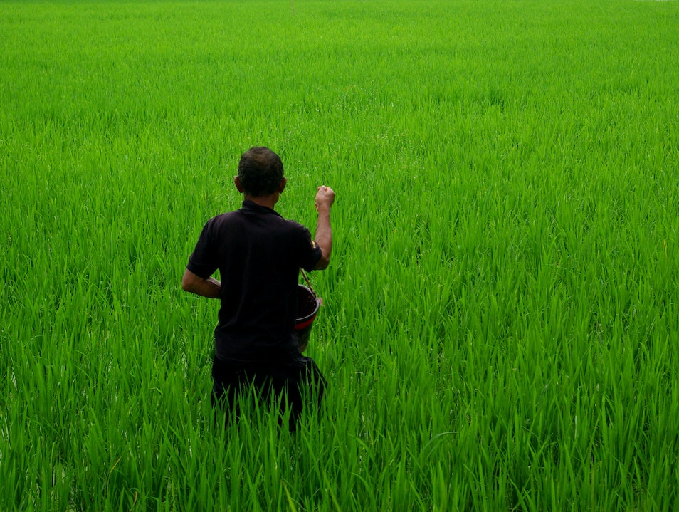 The Endangered Ricefield Ubud  Indonesia
