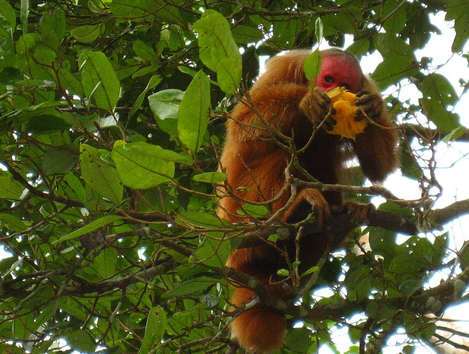 Uakari: The red faced moneky   Brazil