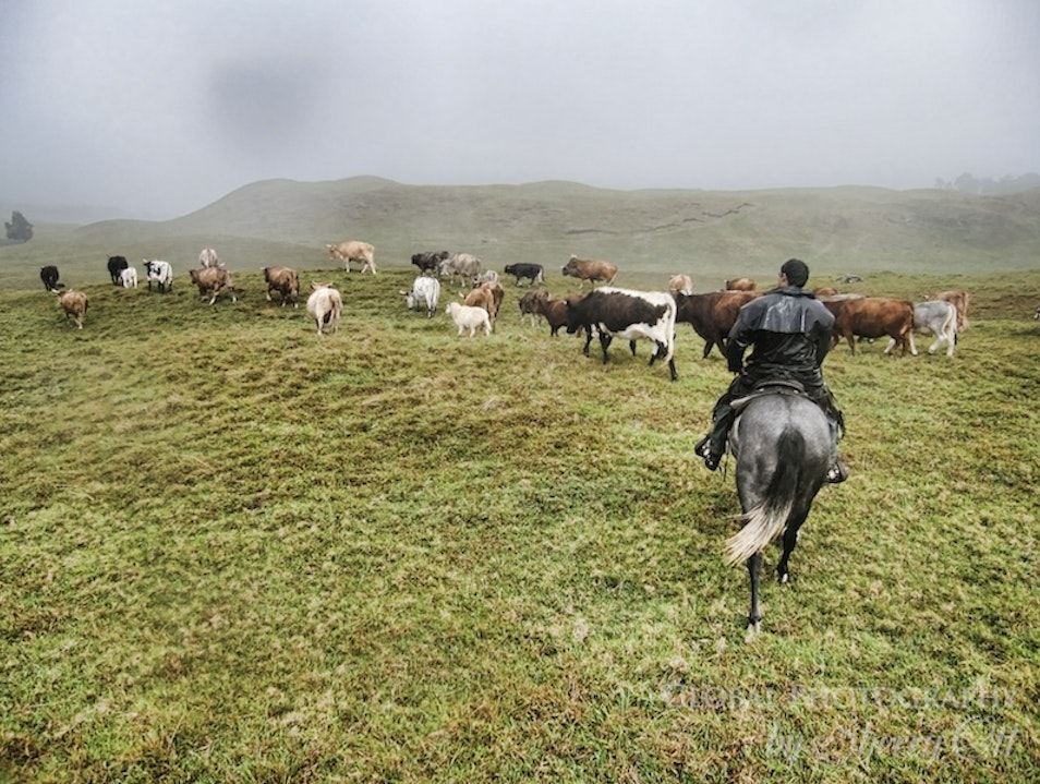 Doing a Cattle Drive in Hawaii