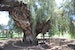 The oldest pepper tree in California!