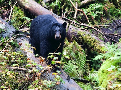 Bear-Watching Ketchikan Alaska United States