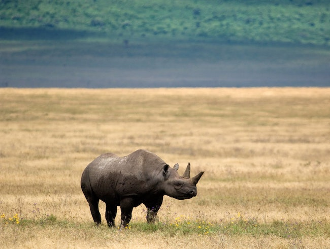 Elusive Black Rhino Sighting