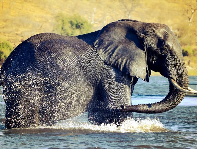 Swimming with Elephants in Botswana