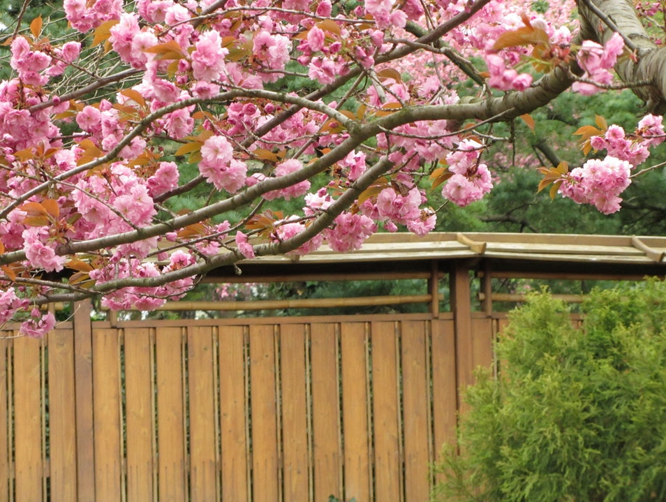 Attend the Cherry Blossom Festival at Brooklyn Botanic Garden