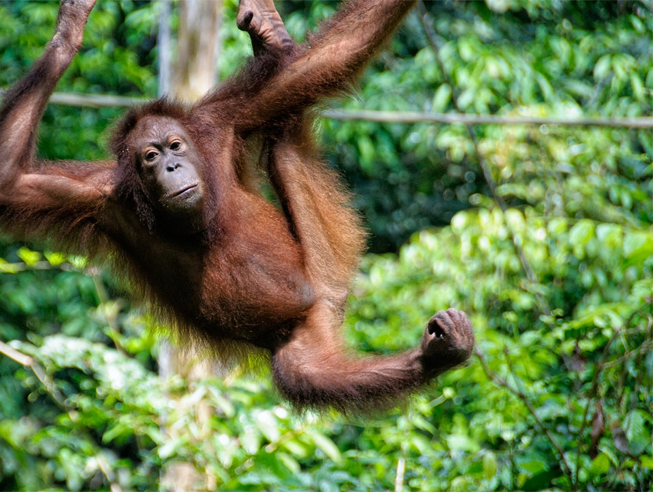 Spend the day with Borneo's 'Man of the Forest' Sandakan  Malaysia