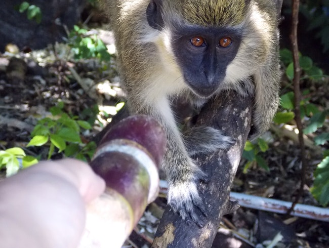 Monkeys encounter at Shipwreck on Mongoose Beach