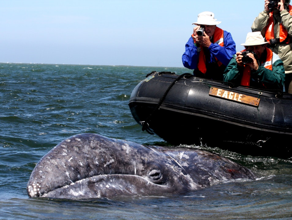 Gray Whale Encounters Baja California Sur  Mexico
