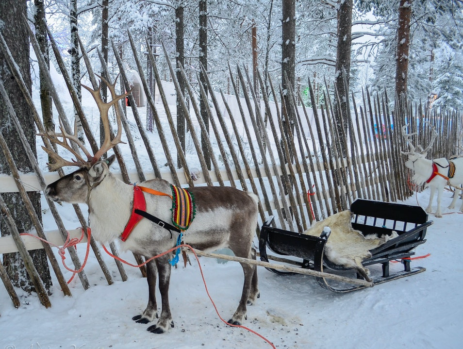 Reindeer sleigh ride at the Arctic Circle  Rovaniemi  Finland