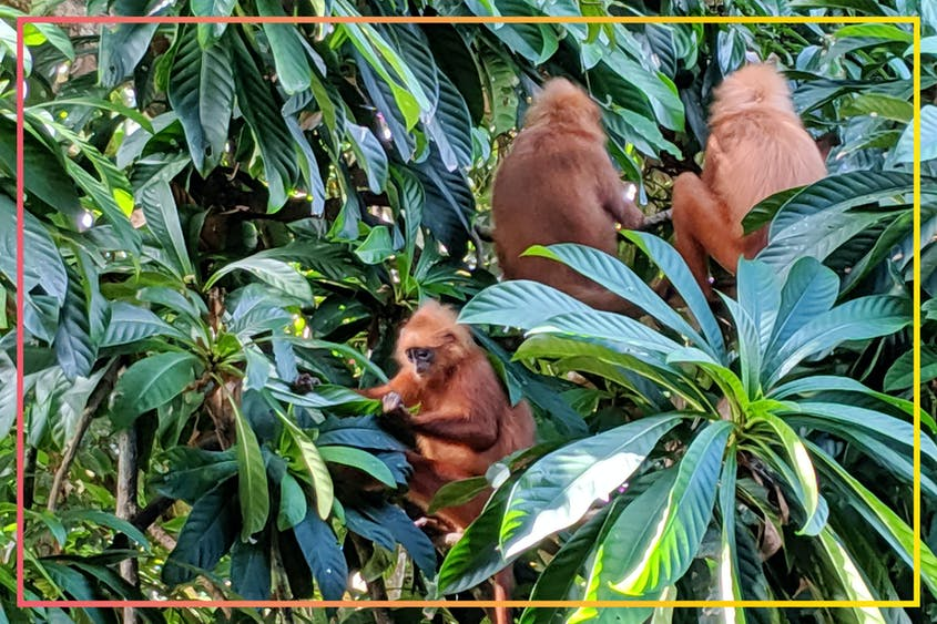 Red leaf monkeys are endemic to Borneo and only found deep in the jungles.