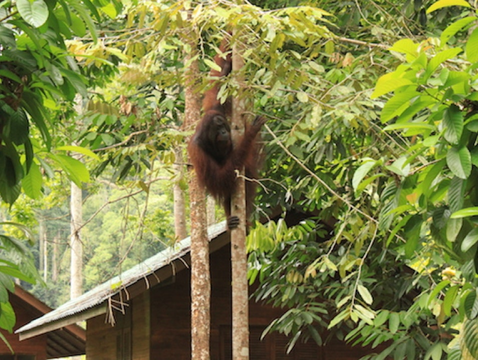 Go Ape! Long Apari  Indonesia