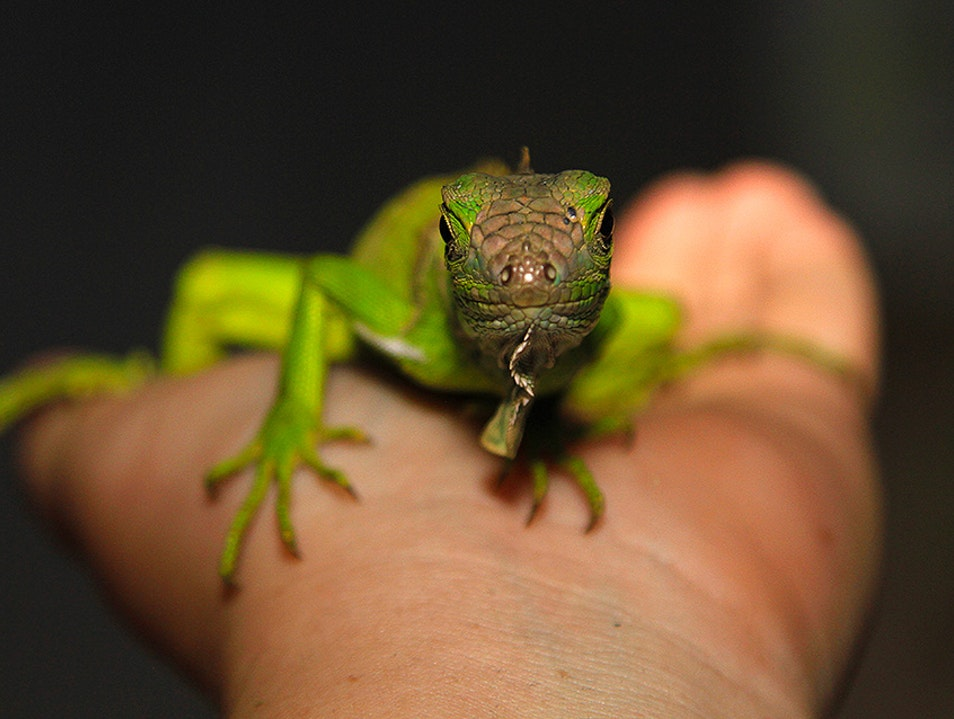Visit the Green Iguana Project at San Ignacio Resort Hotel San Ignacio  Belize