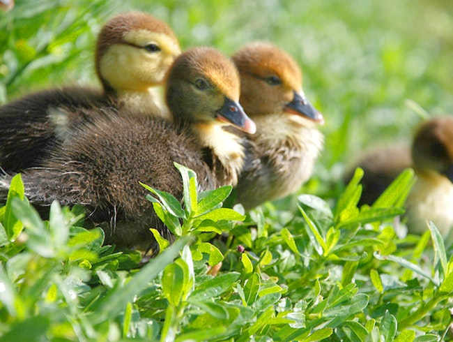 Feed the Ducklings at Cranes Roost