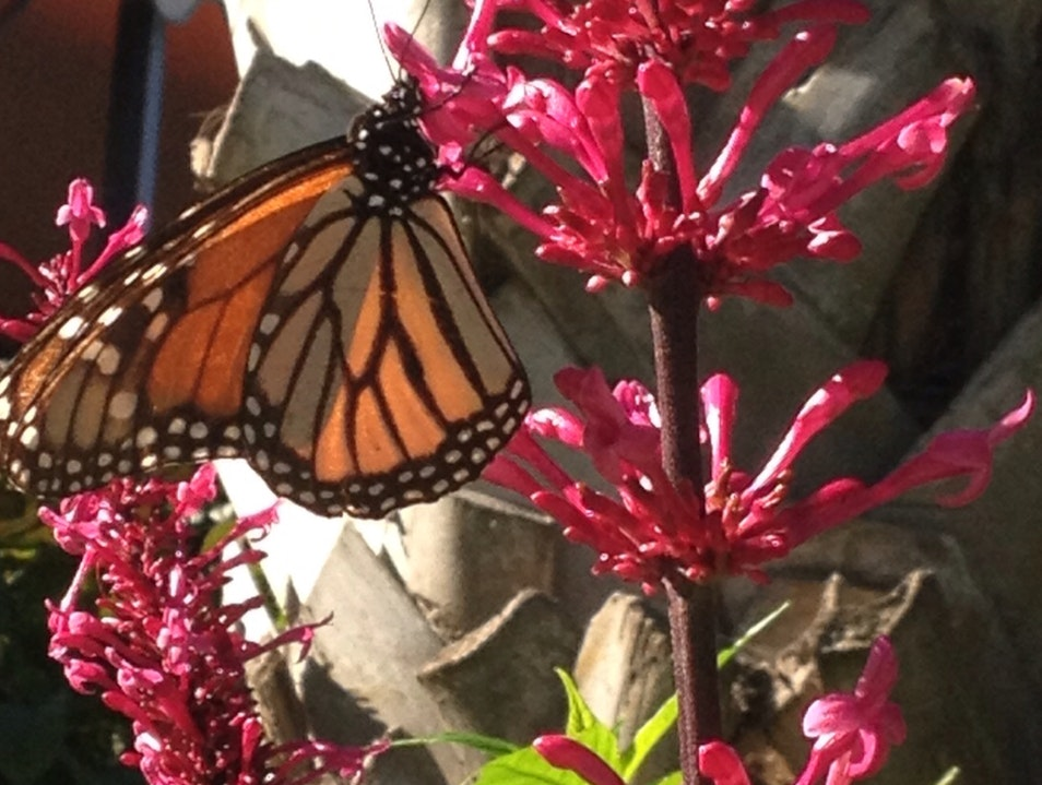 Butterfly At Moody Gardens