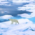 Polar Bears Svalbard  Svalbard and Jan Mayen