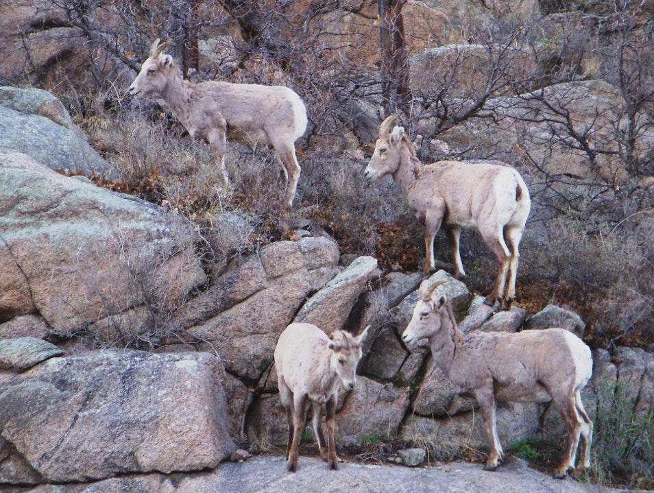 Colorado's Highway 50: Watch for Bighorn Sheep Cotopaxi Colorado United States