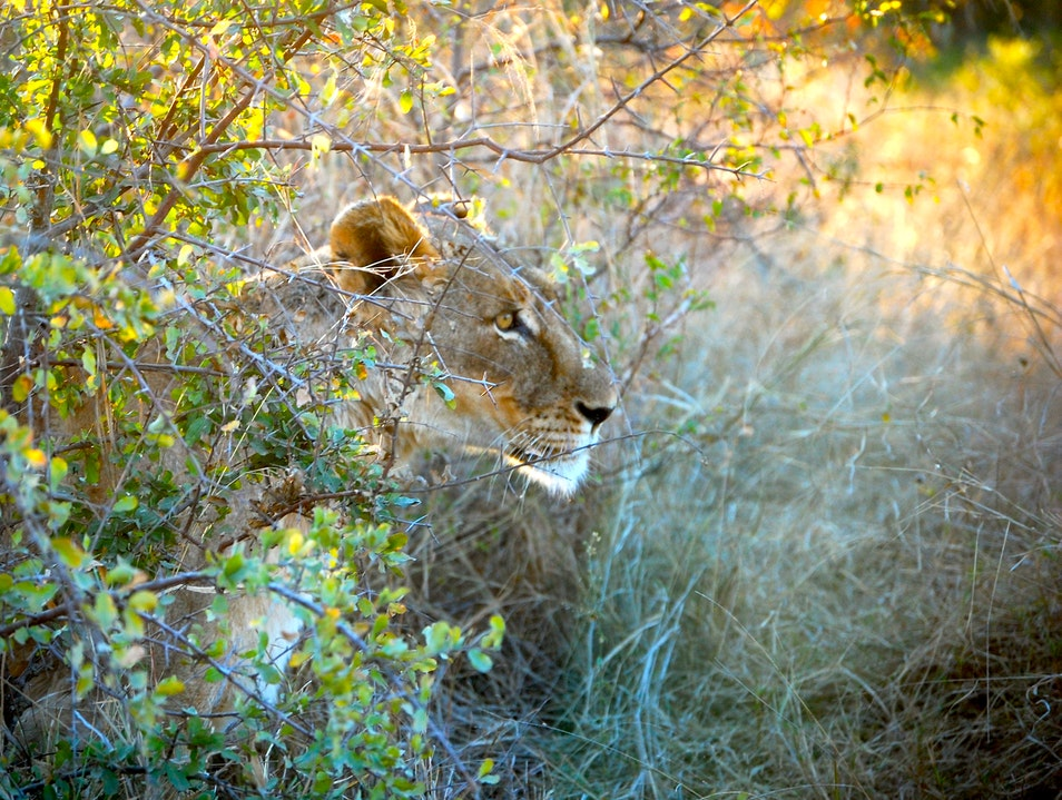 Lions Laying Low.  Kruger Park  South Africa