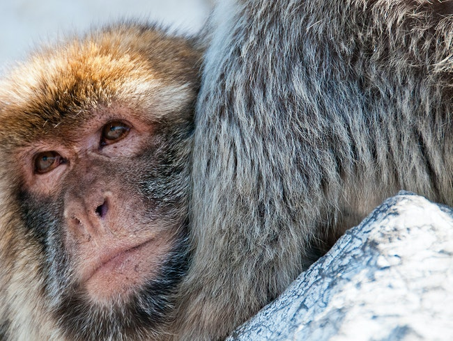 Visit Gibraltar's Barbary Macaques
