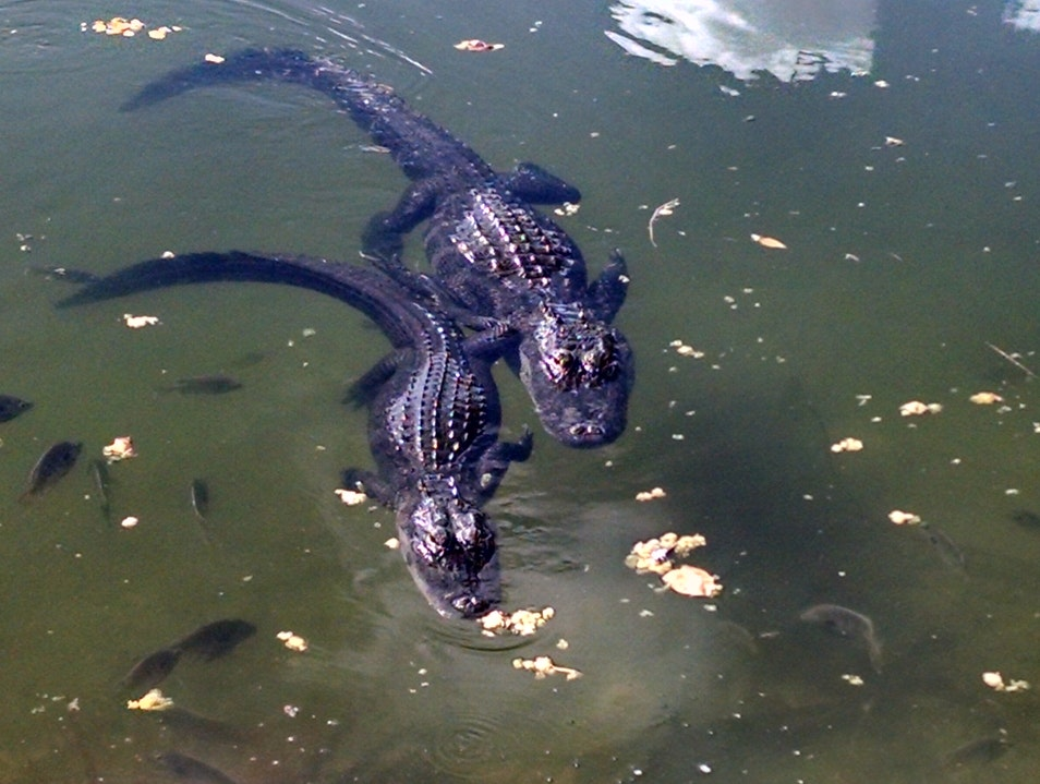 Alligators in the Florida Keys! Big Pine Key Florida United States