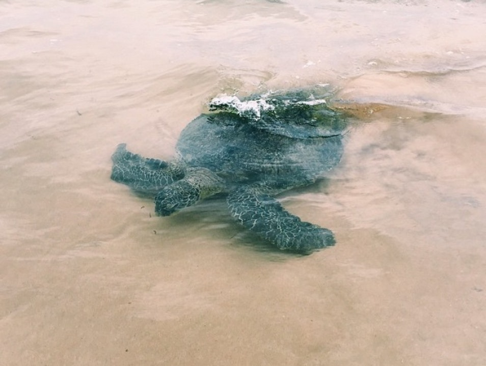 Sea Turtle Swim Hikkaduwa  Sri Lanka