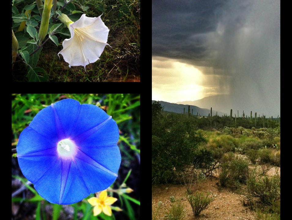 Late summer in the desert: rains and blooms Tucson Arizona United States