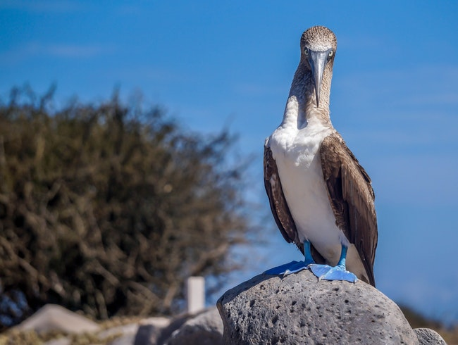 Watch the Blue-Footed Booby's Mating Dance