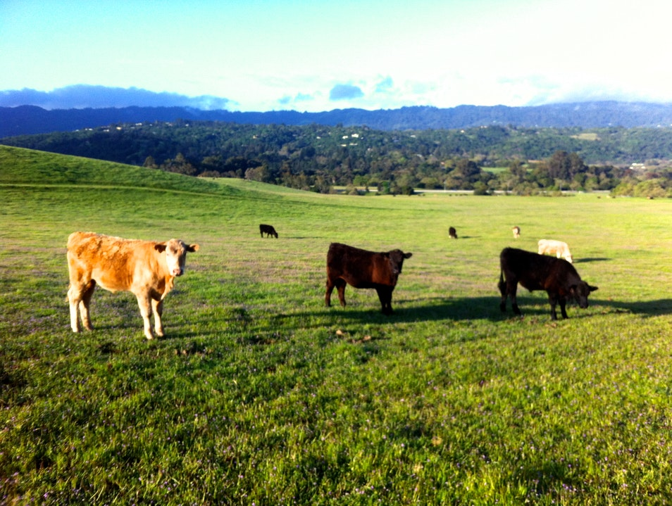 Cows Loungin' Around the Stanford Dish